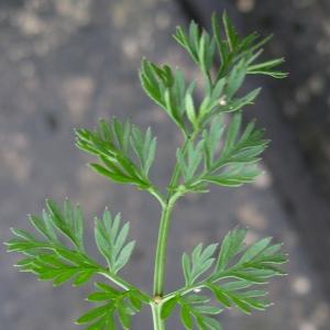 Photographie n°17988 du taxon Cyclospermum leptophyllum (Pers.) Sprague ex Britton & Wilson [1925]