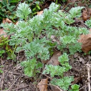 Photographie n°17994 du taxon Artemisia absinthium L.