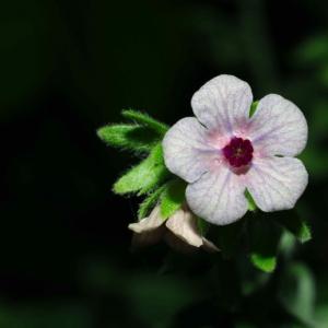 Photographie n°18057 du taxon Cynoglossum creticum Mill. [1768]
