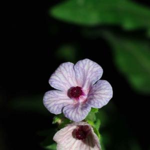 Photographie n°18058 du taxon Cynoglossum creticum Mill. [1768]