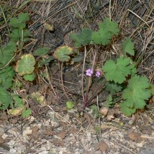 Photographie n°18144 du taxon Geranium rotundifolium L. [1753]