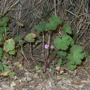 Photographie n°18145 du taxon Geranium rotundifolium L. [1753]