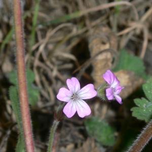Photographie n°18146 du taxon Geranium rotundifolium L. [1753]