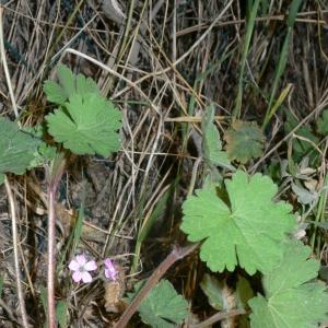 Photographie n°18150 du taxon Geranium rotundifolium L. [1753]