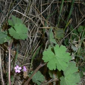 Photographie n°18152 du taxon Geranium rotundifolium L. [1753]