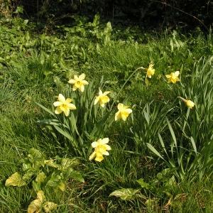 Photographie n°18201 du taxon Narcissus pseudonarcissus L. [1753]