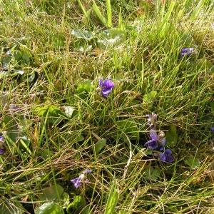 Photographie n°18206 du taxon Viola odorata L.