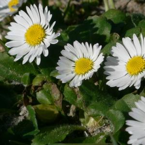 Photographie n°18221 du taxon Bellis perennis L.