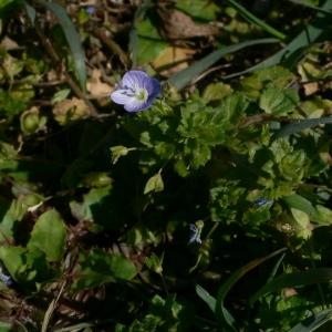 Photographie n°18236 du taxon Veronica persica Poir.
