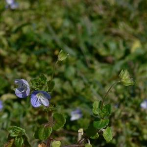 Photographie n°18238 du taxon Veronica persica Poir.