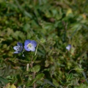 Photographie n°18239 du taxon Veronica persica Poir.
