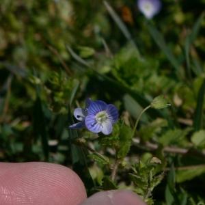 Photographie n°18240 du taxon Veronica persica Poir.