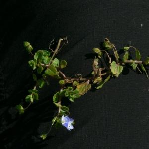 Photographie n°18241 du taxon Veronica persica Poir.