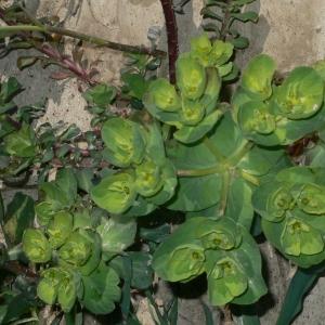 Photographie n°18263 du taxon Euphorbia helioscopia L. [1753]