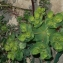 Pierre Bonnet - Euphorbia helioscopia L. [1753]