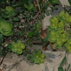 Photographie n°18265 du taxon Euphorbia helioscopia L. [1753]