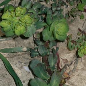 Photographie n°18268 du taxon Euphorbia helioscopia L. [1753]