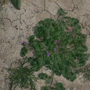 Photographie n°18269 du taxon Erodium malacoides (L.) L'Hér.