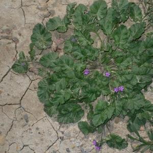 Photographie n°18270 du taxon Erodium malacoides (L.) L'Hér.