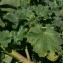 Pierre Bonnet - Lavatera arborea L.
