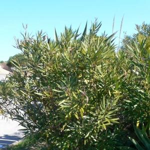 Photographie n°18302 du taxon Nerium oleander L. [1753]