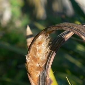 Photographie n°18309 du taxon Nerium oleander L. [1753]