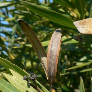 Photographie n°18313 du taxon Nerium oleander L. [1753]
