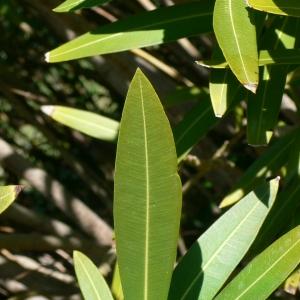 Photographie n°18316 du taxon Nerium oleander L. [1753]