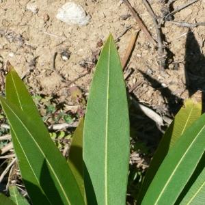 Photographie n°18318 du taxon Nerium oleander L. [1753]