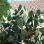 Pierre Bonnet - Opuntia ficus-indica (L.) Mill.