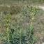 Pierre Bonnet - Euphorbia characias L. [1753]