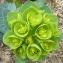Bertrand BUI - Euphorbia myrsinites L. [1753]