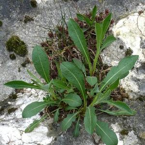 Photographie n°18432 du taxon Centaurea jacea L. [1753]