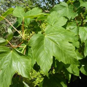 Photographie n°18450 du taxon Acer pseudoplatanus L.