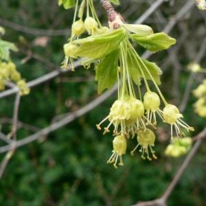 Photographie n°18453 du taxon Acer monspessulanum L.