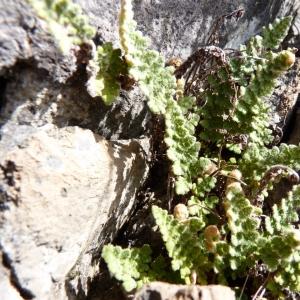 Photographie n°18473 du taxon Cosentinia vellea (Aiton) Tod. [1866]