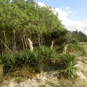Photographie n°18486 du taxon Yucca gloriosa L.