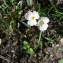 Mathieu MENAND - Baldellia ranunculoides subsp. repens (Lam.) Á.Löve & D.Löve [1961]