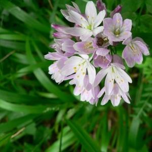 Photographie n°18522 du taxon Allium roseum L. [1753]
