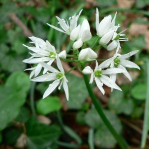 Photographie n°18526 du taxon Allium ursinum L.