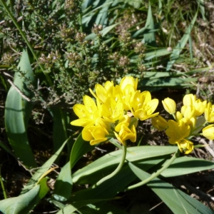 Photographie n°18527 du taxon Allium moly L.