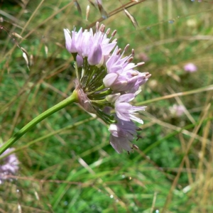 Photographie n°18531 du taxon Allium lusitanicum Lam. [1783]