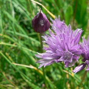 Photographie n°18532 du taxon Allium schoenoprasum L.