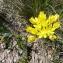 Mathieu MENAND - Allium moly L.