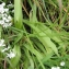 Mathieu MENAND - Allium neapolitanum Cirillo
