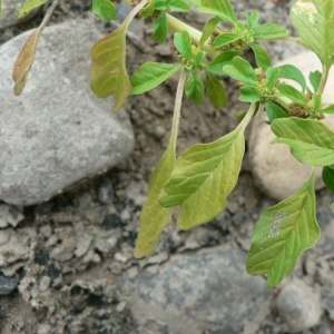 Amaranthus blitum subsp. emarginatus (Salzm. ex Uline & W.L.Bray) Carretero, Muñoz Garm. & Pedrol (Amarante échancrée)