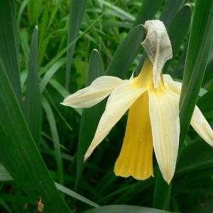 Photographie n°18566 du taxon Narcissus bicolor L. [1762]