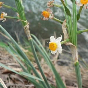 Photographie n°18568 du taxon Narcissus tazetta L. [1753]