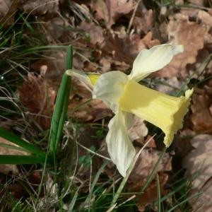 Photographie n°18573 du taxon Narcissus bicolor L. [1762]