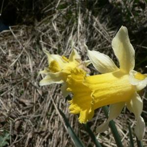 Photographie n°18577 du taxon Narcissus pseudonarcissus L. [1753]
